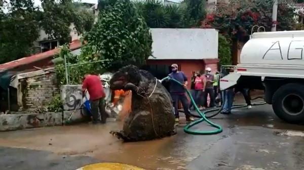 大雨後下水道冒出「比人高巨鼠」!失主現身:我找它好幾年