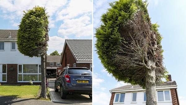 超線一公分都不行!強勢鄰居指控樹會引來小鳥大便 硬把25年杉木對半砍