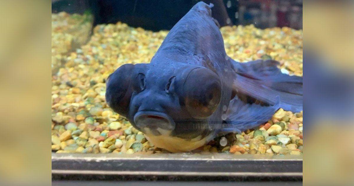 10歲金魚「被棄養」無精神躺寵物店 善心妹同情領回家養:竟變身華麗顏色~