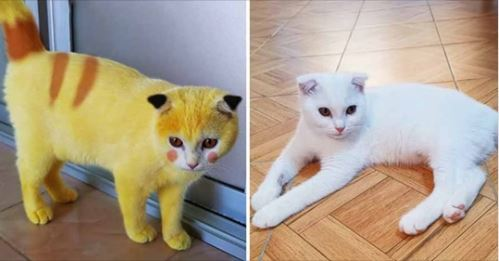 萌白貓「全身擦滿薑黃膏」治黴菌 網看配色笑瘋:皮卡喵是你?