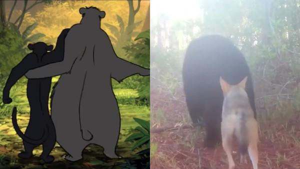 真實版《森林王子》!野外狼與熊結伴散步 是要去找毛克利嗎?