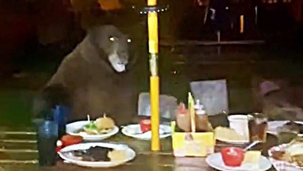 熊寶寶想吃漢堡!母熊「吼一聲」嚇跑顧客佔桌大吃 店家抄椅子驅趕牠沒在怕