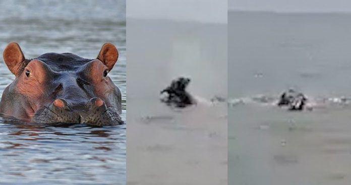 男孩被河馬拖入水中殺害 目擊者拍下驚悚一幕