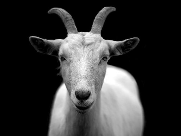 山羊發出怪叫聲! 農場主人驚見「60歲老翁趴在羊身上」拉褲子落荒而逃