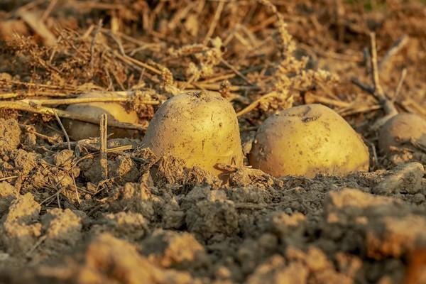 仗打到一半「停戰去挖馬鈴薯」!結果超慘「打了個空氣」 餓死比戰死還多