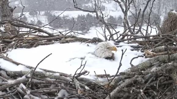 「全身埋雪裡」還堅持孵蛋!鷹媽媽頂大雪孵蛋 母愛逼哭27萬人