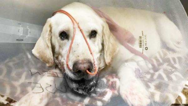 忠犬「死咬響尾蛇」保護主人!脖子遭蛇牙刺穿吐血 獸醫驚嘆:太勇敢