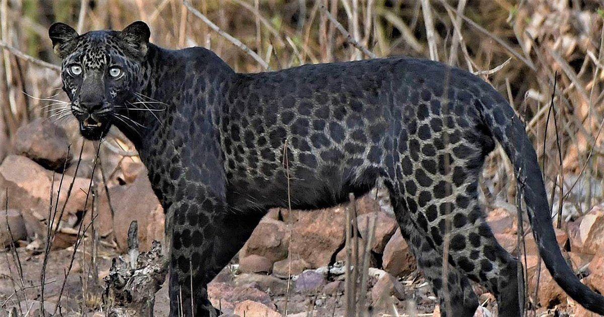 一生的奇遇!遊野生動物園遇「黑斑黑豹」 極罕身姿看過就忘不了