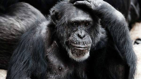 參觀動物園遇上「猩猩激情吞吐」 父母邊笑邊摀住小孩眼睛