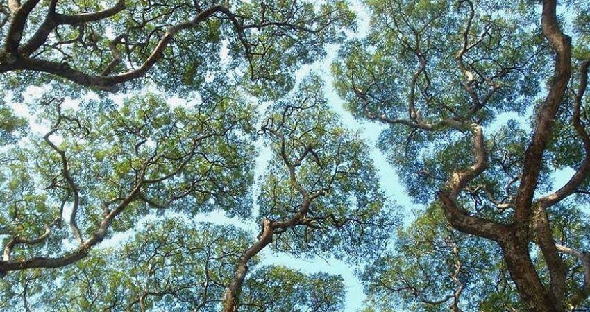 彬彬有禮的大樹! 27張照片展現奇妙的「樹冠羞避現象」