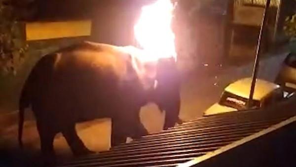 大象變火球活活燒死!誤闖私人渡假村迷路 2村民布料點火狂丟