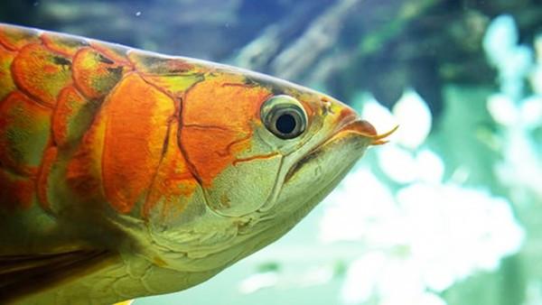 員工亂餵「害死老闆心愛的風水魚」靠一句話就讓震怒老闆笑了,網讚:太會凹