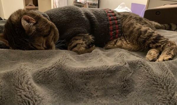 脫掉就跟你拚了!18歲貓爺爺「愛上穿毛衣」 媽無奈:沒得穿就哭整天