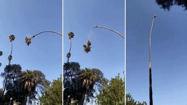 趴樹稍盪鞦韆?美國工人為修棕櫚樹在天上擺盪 7百萬名網友看了怵目驚心