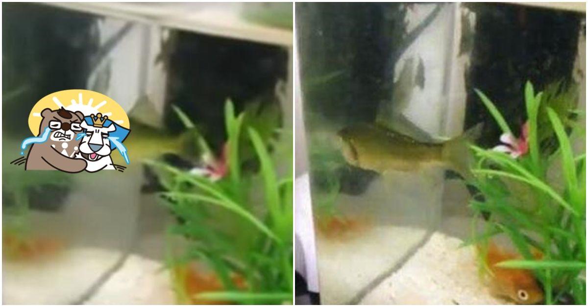 求生意志也太強 魚頭被啃一半「斷頭魚」苦撐3天竟還活著 網友驚:旁邊的魚快被嚇死(影)