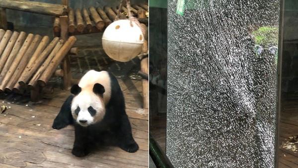 看到國寶熊貓太興奮! 屁孩狂捶「鋼化玻璃碎了」網笑瘋:練過鐵砂掌?