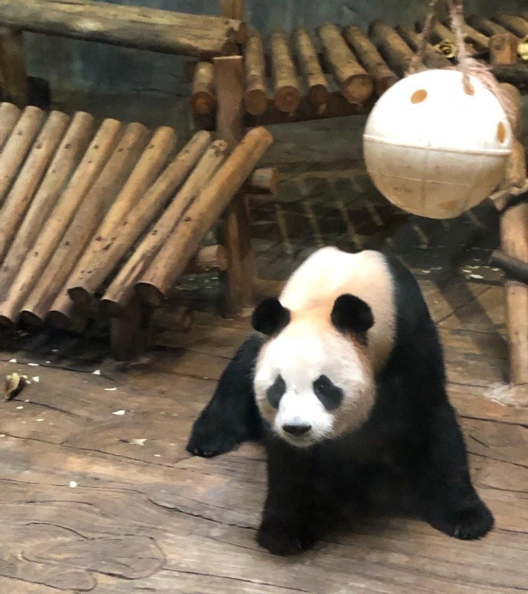 ▲▼看到國寶熊貓太興奮 屁孩狂敲「鋼化玻璃碎裂」園方傻了(圖/翻攝自微博/snow的xyz)
