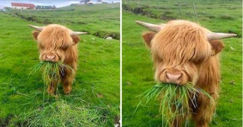 牛界小天使4ni~高山牛寶寶「自備中二瀏海」 露眼睛萌到沒極限